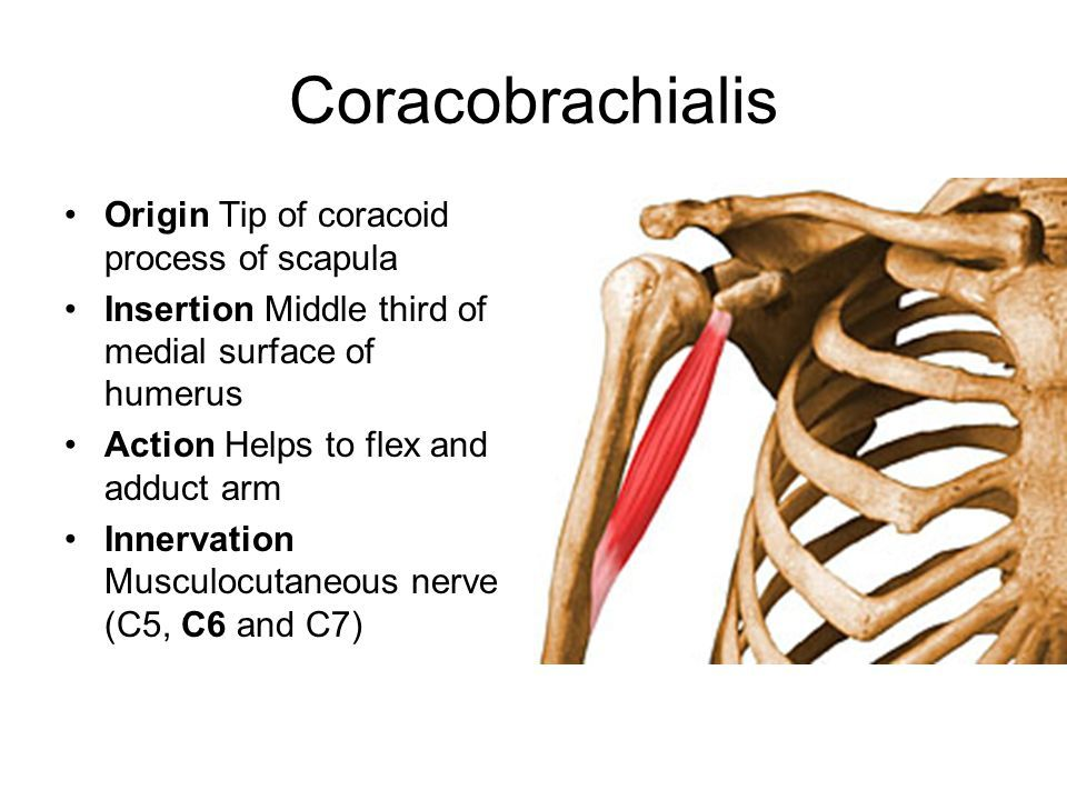 coracobrachialis origin and insertion - Google Search ...