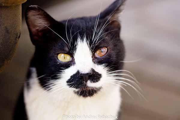 Черно-белый кот дворовый. Брест. Cat