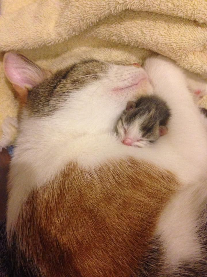 Mama Cat Loving Her First Newborn Before The Others Arrived Cat