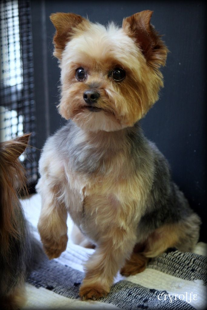 Yorkie Terrier Dog Grooming Haircut Pictures Cryrolfe Dogs My