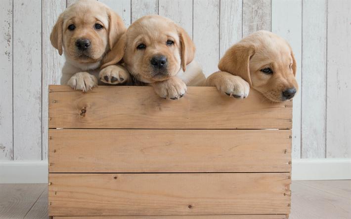 herunterladen hintergrundbild golden retriever welpen holz box niedliche tiere kleine hunde. Black Bedroom Furniture Sets. Home Design Ideas