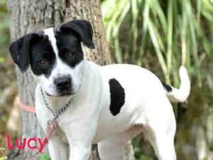 Petfinder Adoptable Dog Pointer Sarasota Fl Lucy Pet