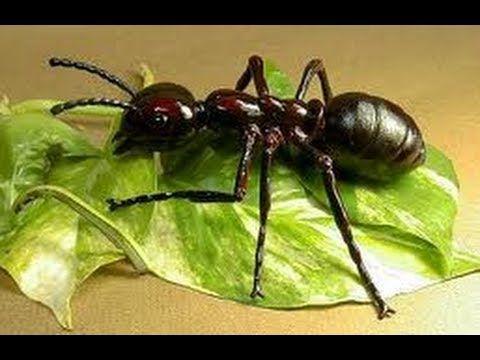 Tips para ahuyentar hormigas en la casa diy non toxic ant - Plantas ahuyenta insectos ...