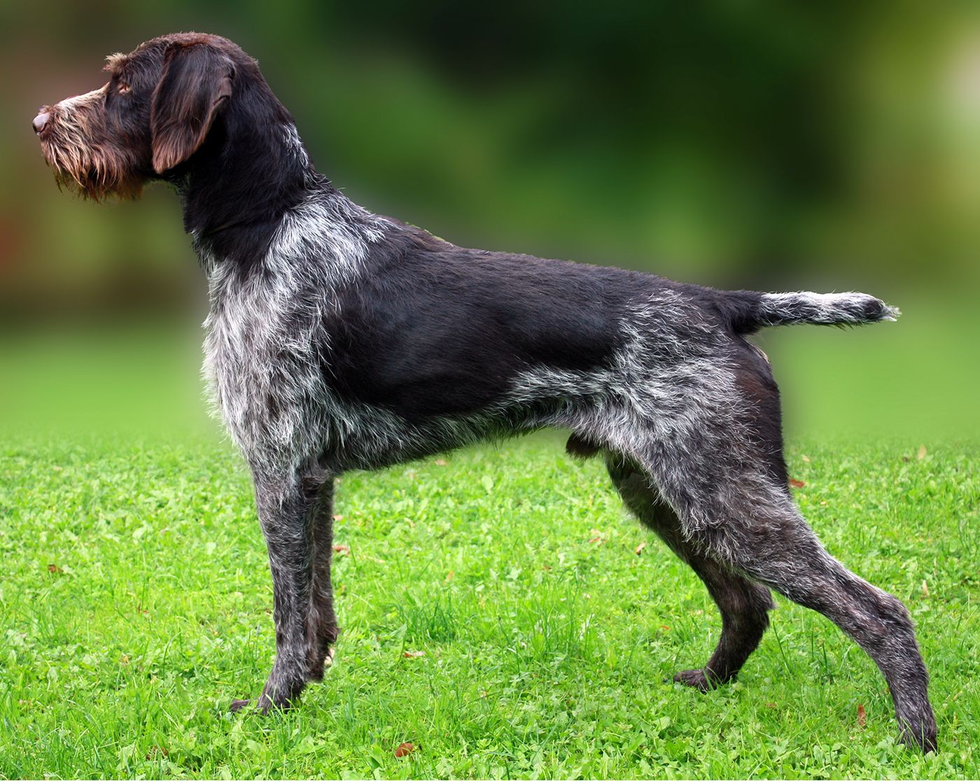 Drahthaar Dog Breed