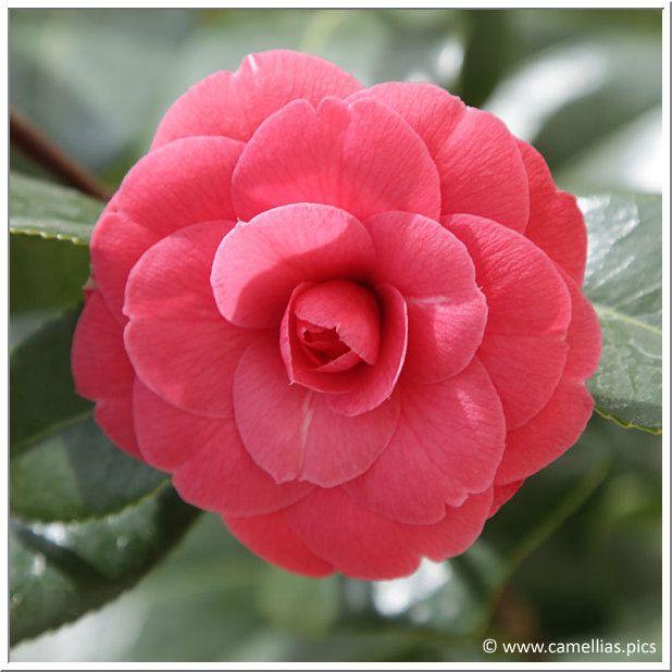 Camellias Pics Flowers Camellia Flower Power