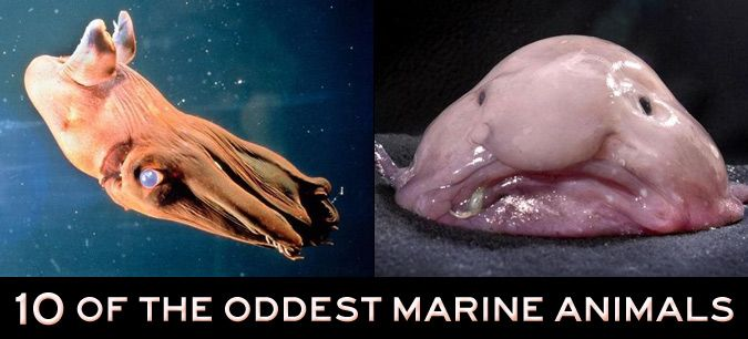 10 of the oddest marine animals world animals and photos for Weird looking fish