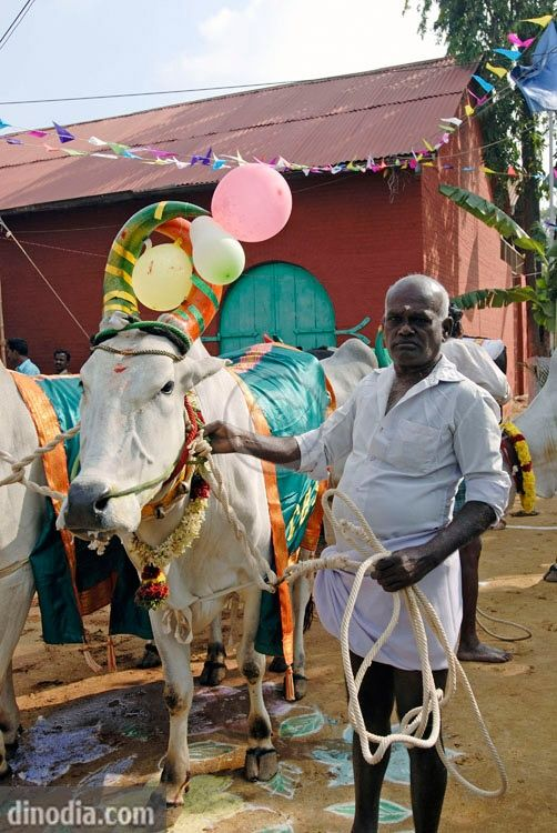 Decorated cows and bullocks at Pongal harvest festival, Tamil Nadu, India