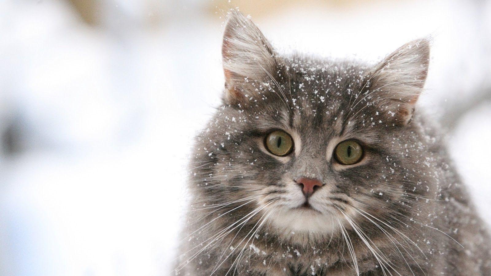 Fonds D Ecran De Chat En Full Hd Beautiful Cats Kittens Cutest American Bobtail Cat