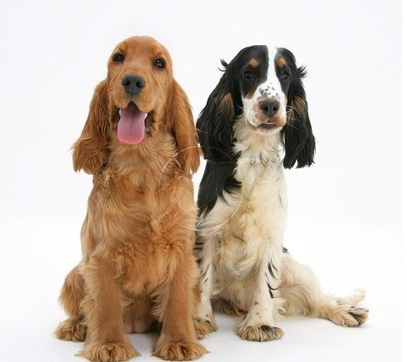 English Golden And Tri Color Cocker Spaniels Adult Dogs Cocker