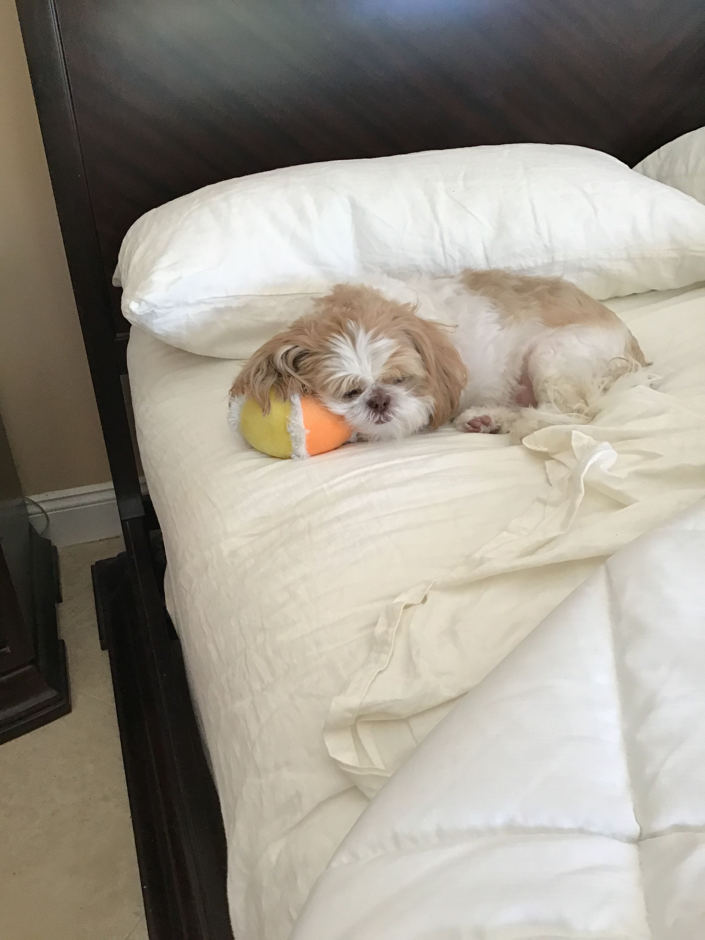 Pin by Mb on Shih Tzu...Starring Holly (With images