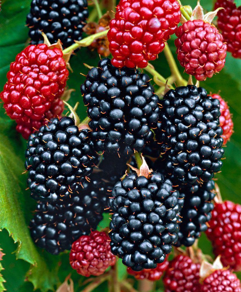 Doornloze braam 'Chester Thornless' | Rubus fruticosus 'Chester Thornless'