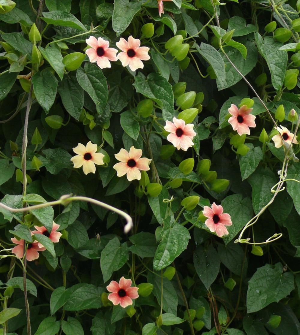 schwarz ugige susanne thunbergia alata garten garden ideas and gardens. Black Bedroom Furniture Sets. Home Design Ideas
