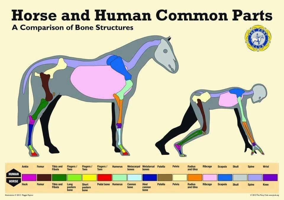 Comparing structure (mit Bildern) Pferd anatomie