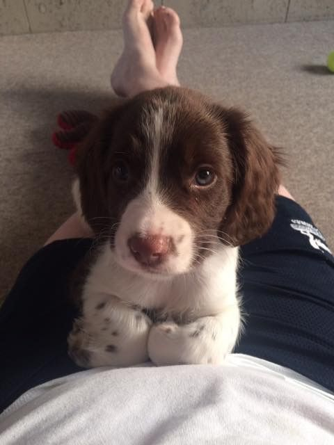 Pin By Janet Fischer On Springers Springer Spaniel Puppies Spaniel Puppies Cute Dogs