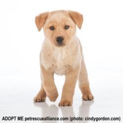 Adopt Beau On Labrador Retriever Shepherd Mix Dog Labrador