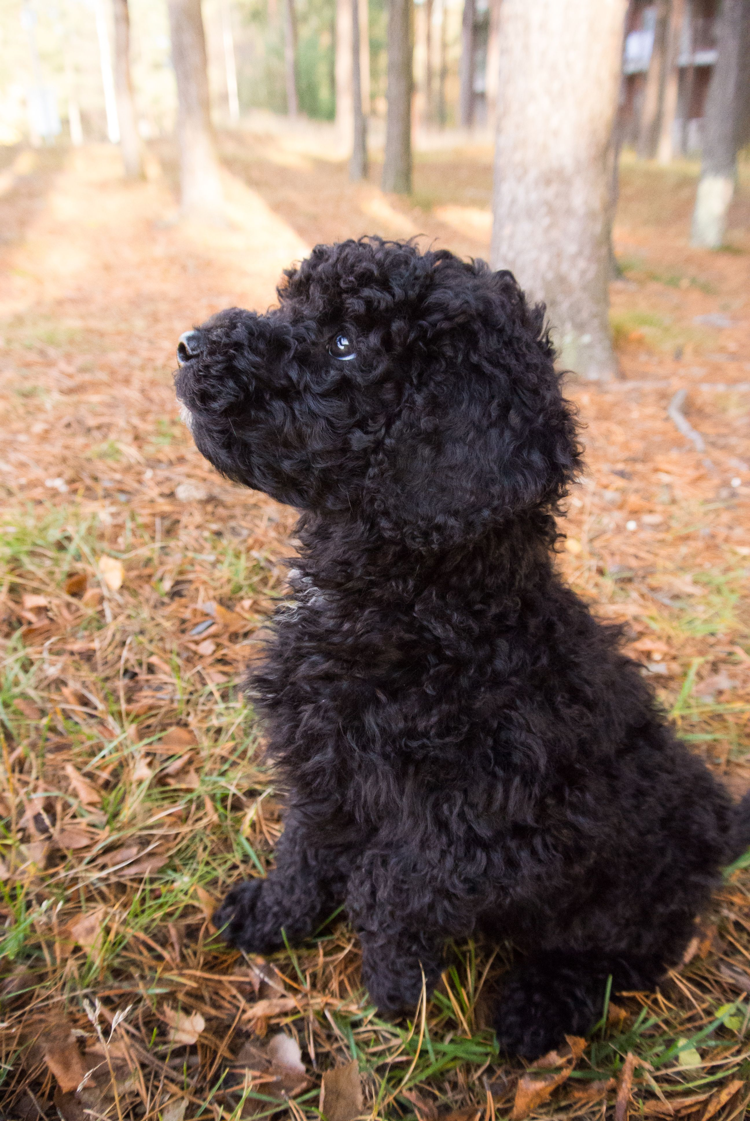 Spanish water dog puppy 8 weeks old dogpictures dogs
