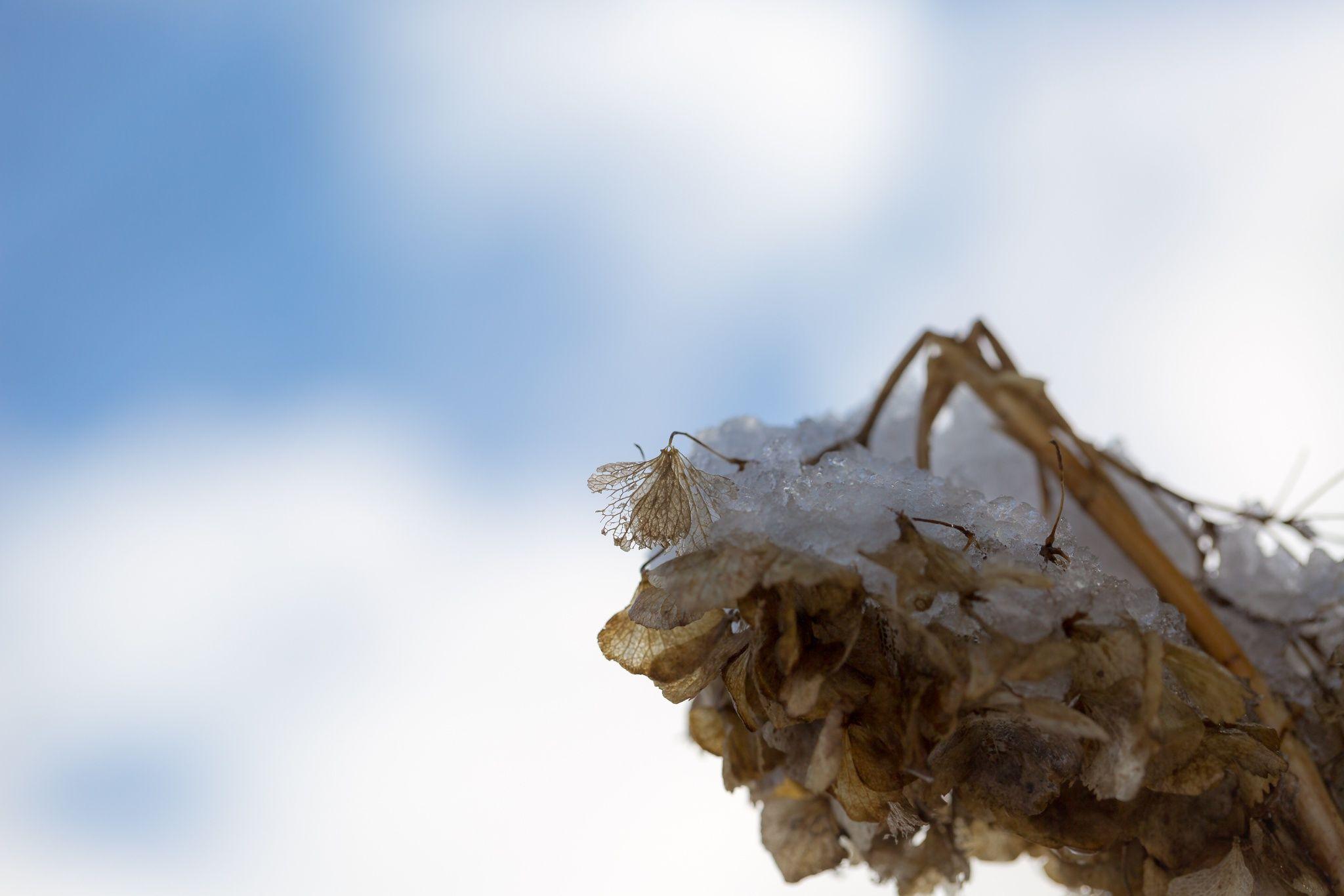 Winter hydrangea by Masaru Kuroda on 500px