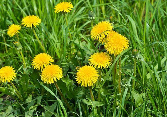 Edible Flowers: dandelion