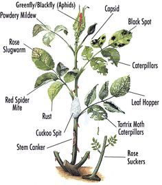 b5a9cd5c2a44b04f3b723b8146b9089a 30 diagrams to make you master in growing roses ink & paper