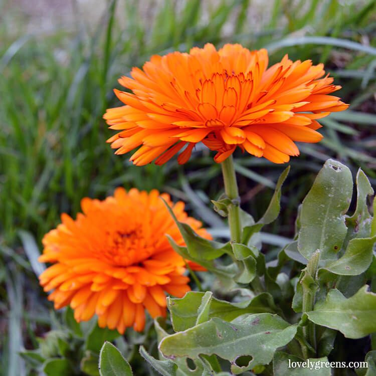 How To Grow Calendula Flowers Sowing Growing And Saving 400 x 300