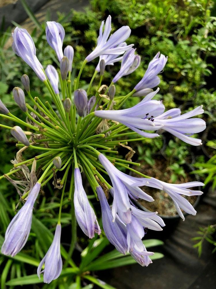 2 Plants Agapanthus Africanus LIVE Potted Plant Blue Lily of the Nile