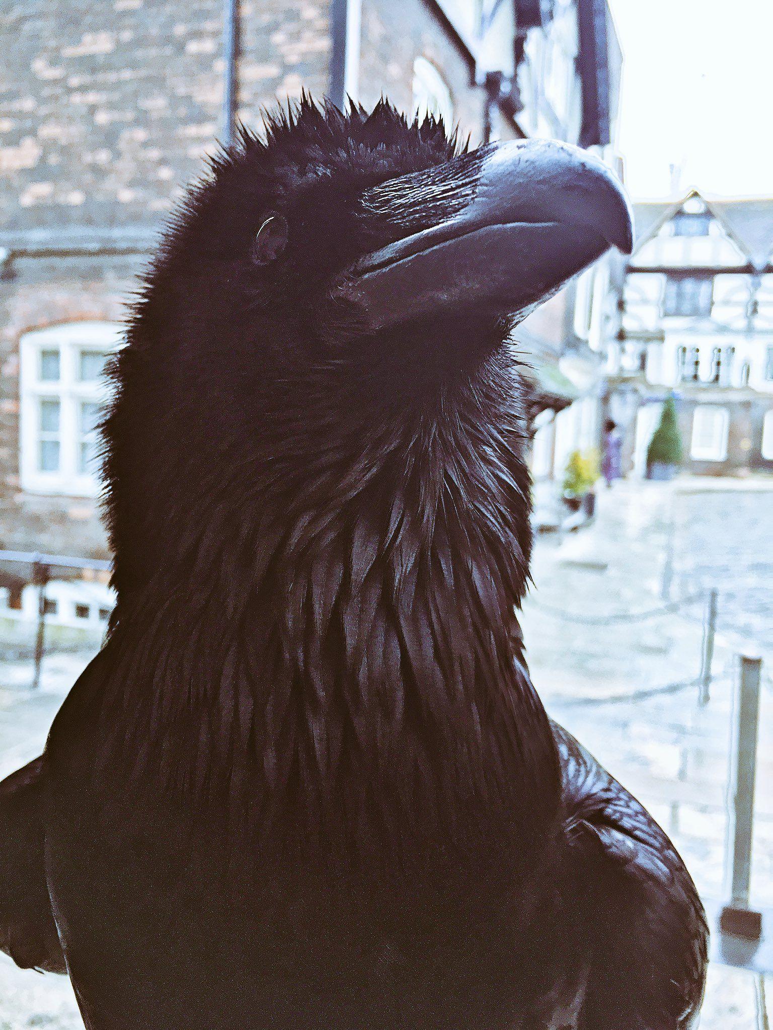 Ravenmaster on | Cuervo, Anatomía animal y Hogueras