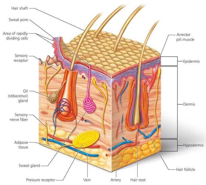 Body Organization And Homeostasis Biology Of Humans