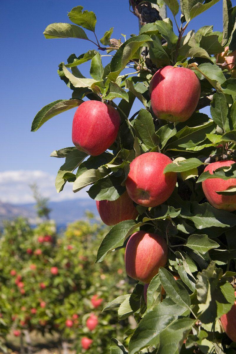 Washington Red Apple Tree Apple Picking Farm Apple Tree Apple Picking
