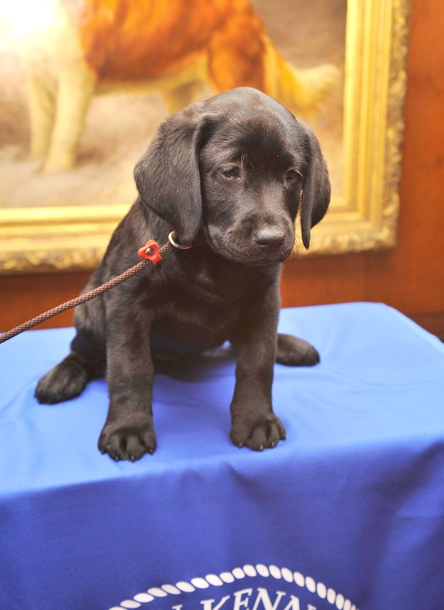 It's time. | 23 Indisputable Reasons Why It's Time For A Labrador To Win Westminster