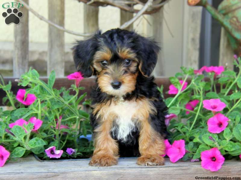 Parker, YorkiePoo puppy for sale from East Earl, PA