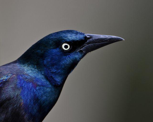 Purple Grackle by Dah Professor, via Flickr