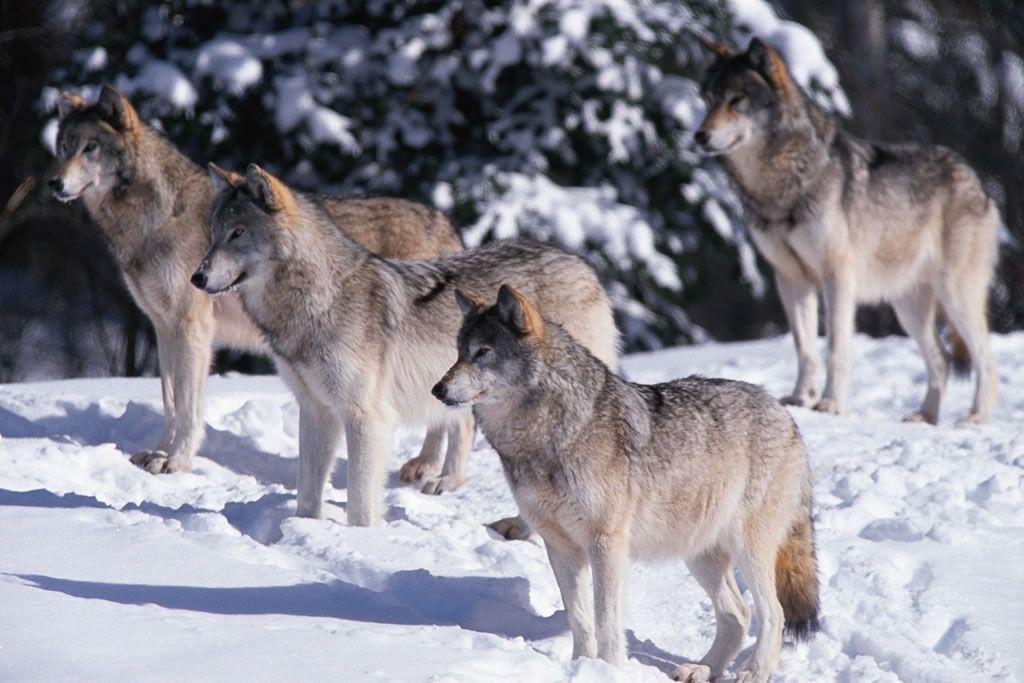а волк раскачивается на одних труссиках фото замера
