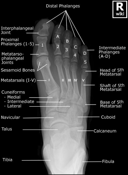 Radiographic Anatomy Foot Dp Radiographic Anatomy Medical