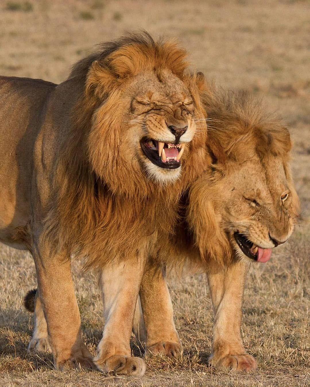 Смешные картинки про львов
