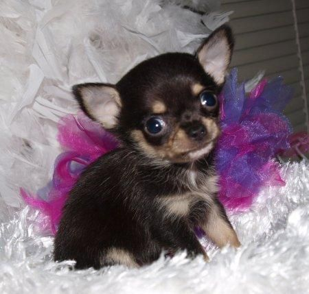 Chihuahua Puppies For Free Home Raise Chihuahua Puppies