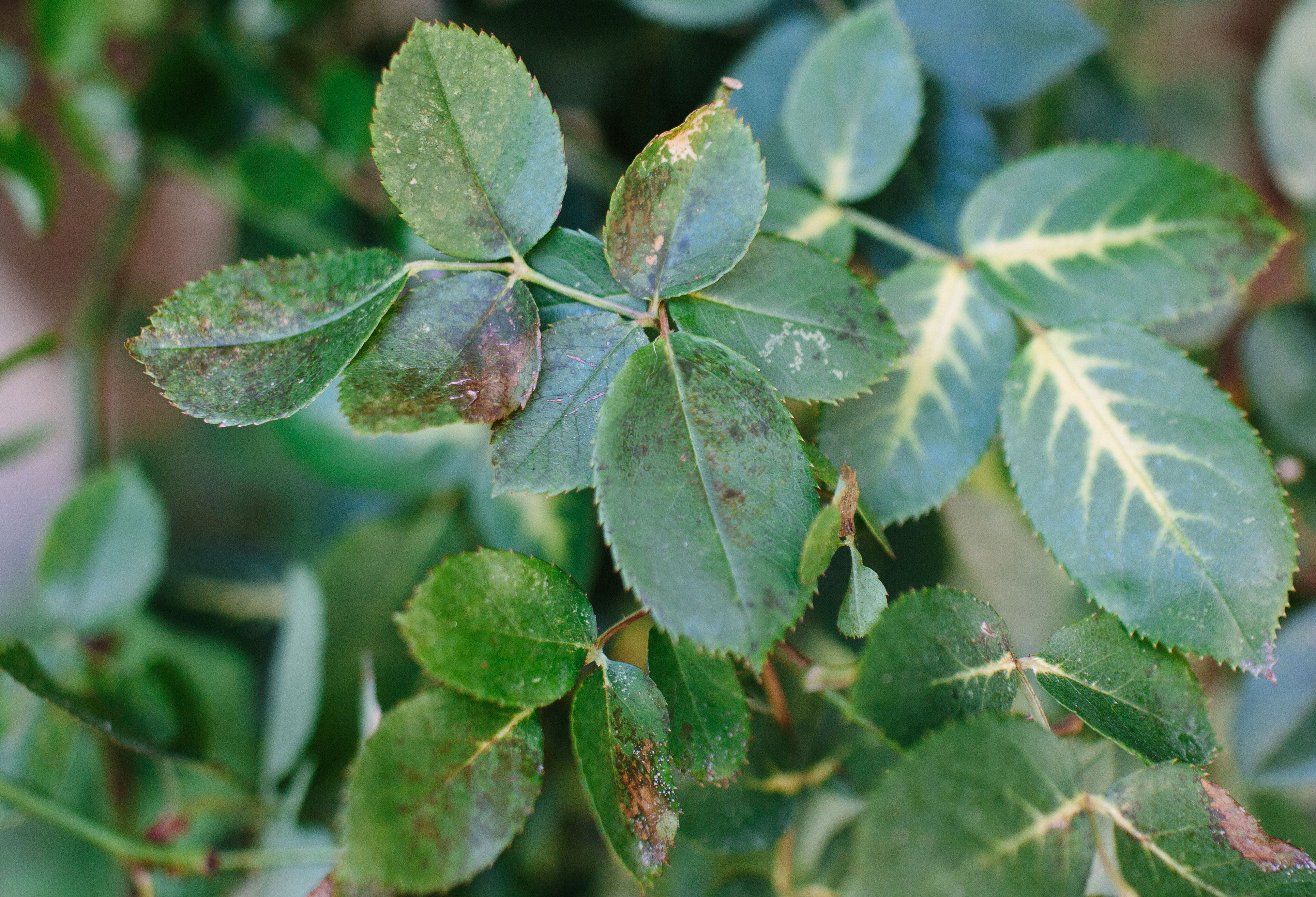 Preventing and Controlling Black Spot in Your Rose Garden