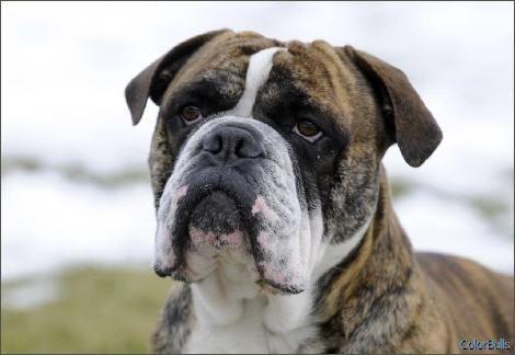 Colorbulls Continental Bulldog Razas Caninas Bichos Canas