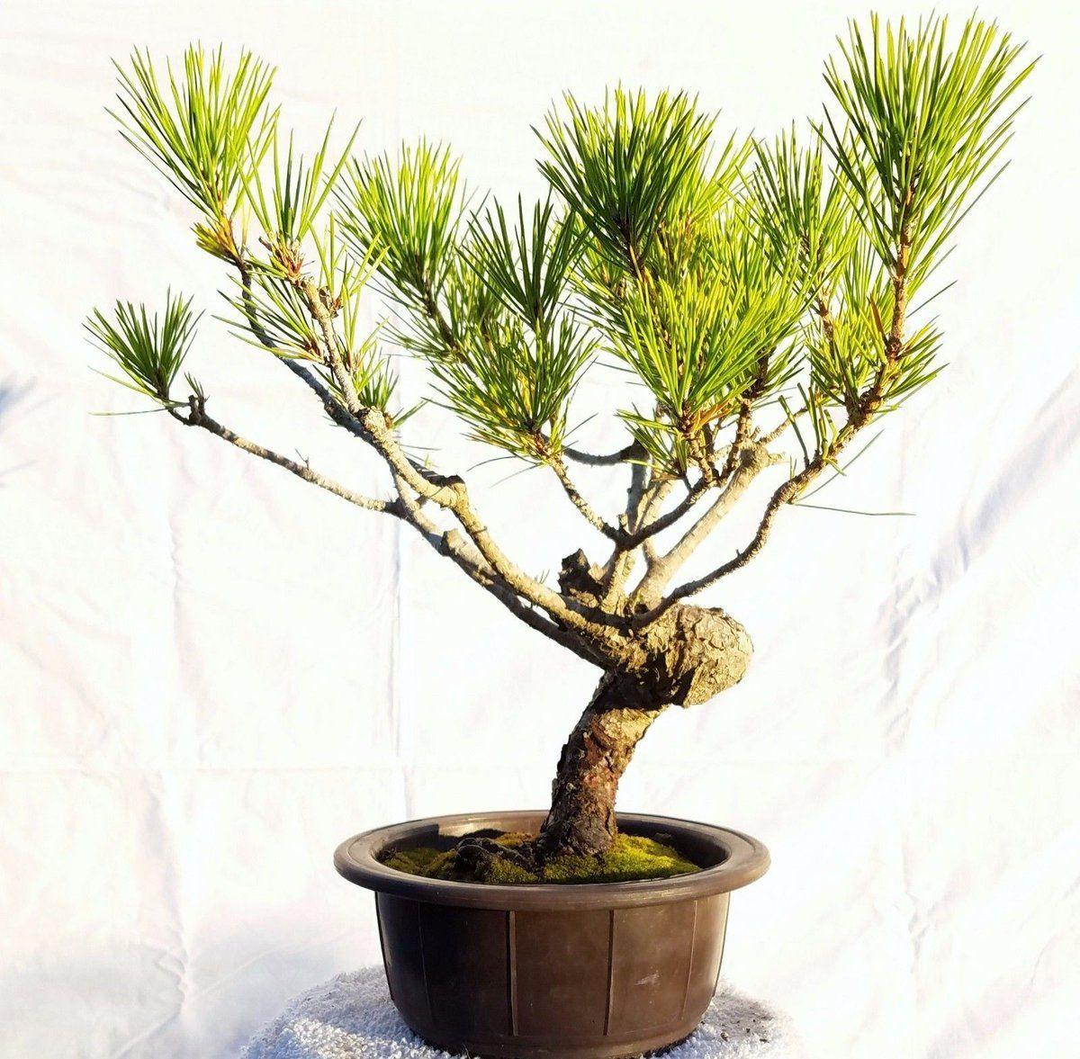 (1) Twitter Bonsai tree