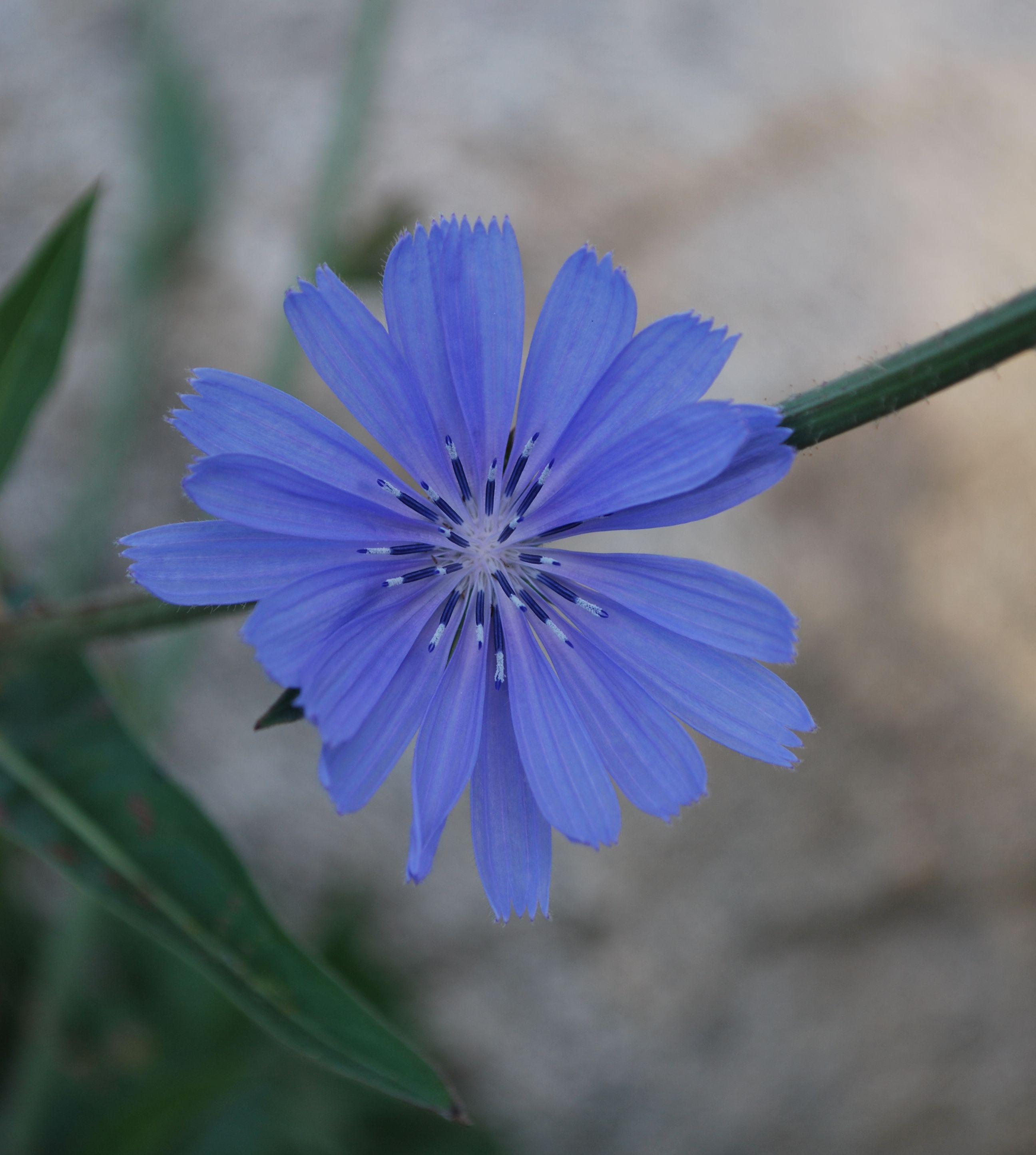 Blue Cornflower Blue Flowers Pinterest Plants Flowers And Gardens