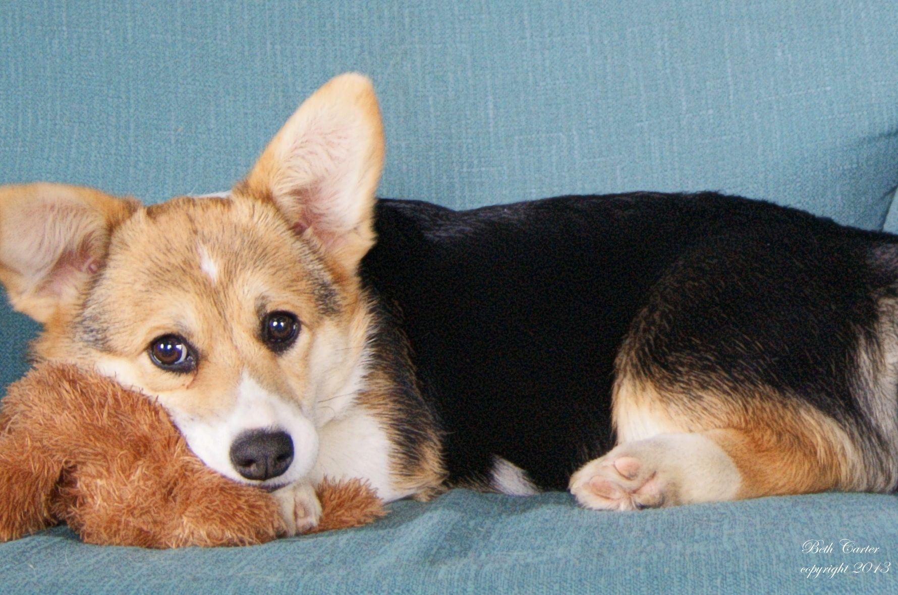Amazing Aza, a tricolor Pembroke Welsh puppy