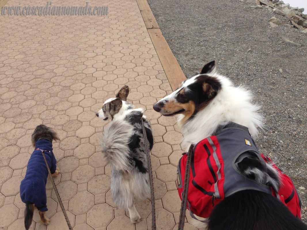 Miniature Long Haired Dachshund Dog Wilhelm Rough Collie Dog