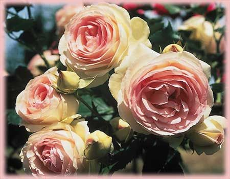 Rosa Climbing Eden Climber O R Stunning Shade Tolerant Rose I Bet It Smells