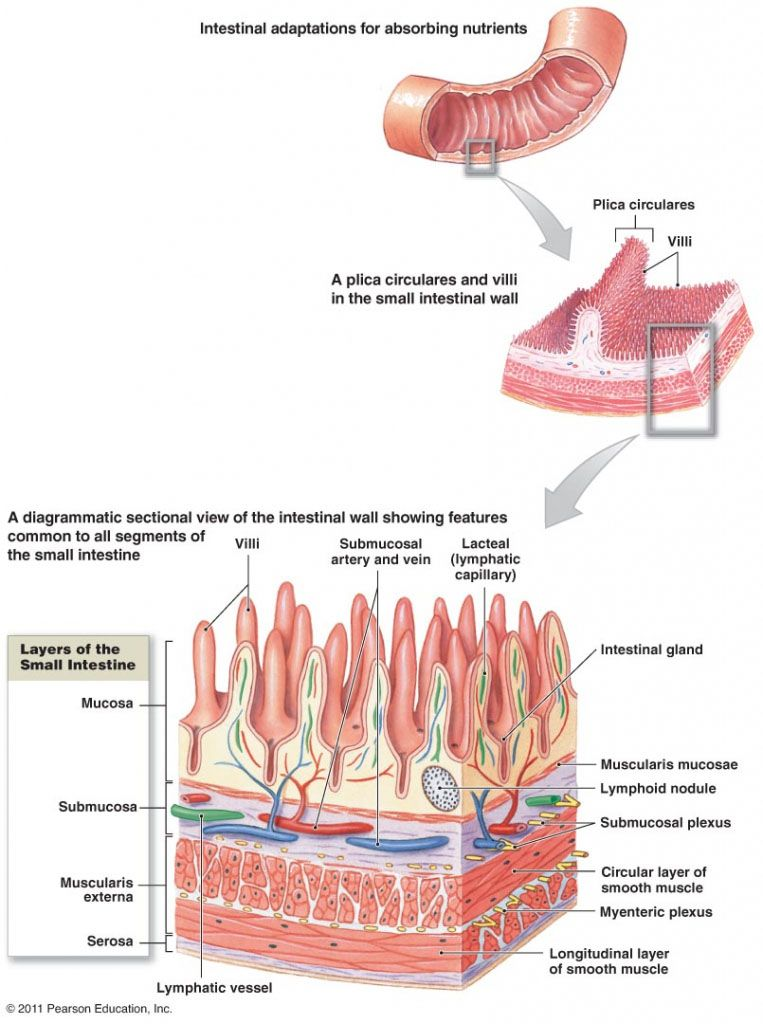 Small intestine anatomical structure - www.anatomynote.com | Anatomy ...