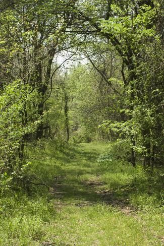 size: 24x16in Photographic Print: Forest Trail on Chickasaw Bluff near the Mississippi River, Tennessee : Subjects