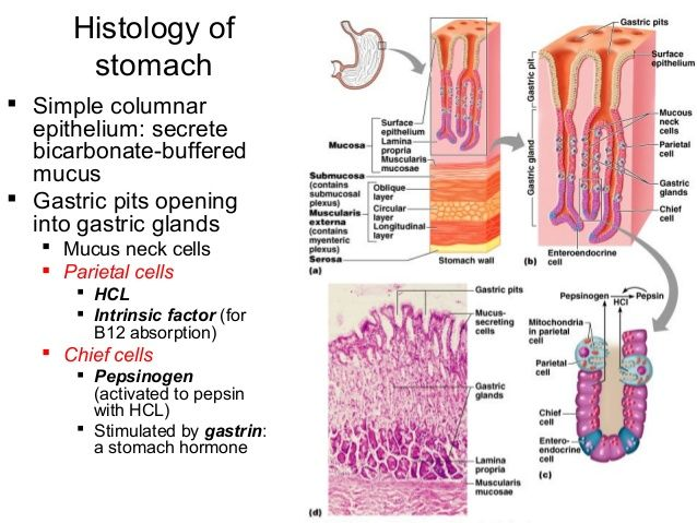 anatomy and physiology of the stomach biology essay 11102012  find out how anatomy and physiology differ as well as why  what's the difference between anatomy and physiology  gross anatomy, tissue biology,.