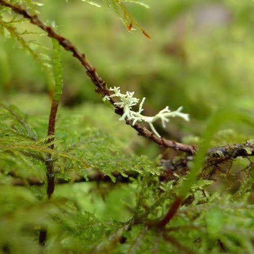 reindeer lichen cladonia rangiferina