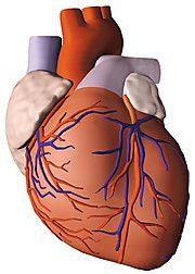 Herzkranzgefäße