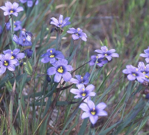 Blue eyed grass woodland flowersplants pinterest california blue eyed grass mightylinksfo Image collections