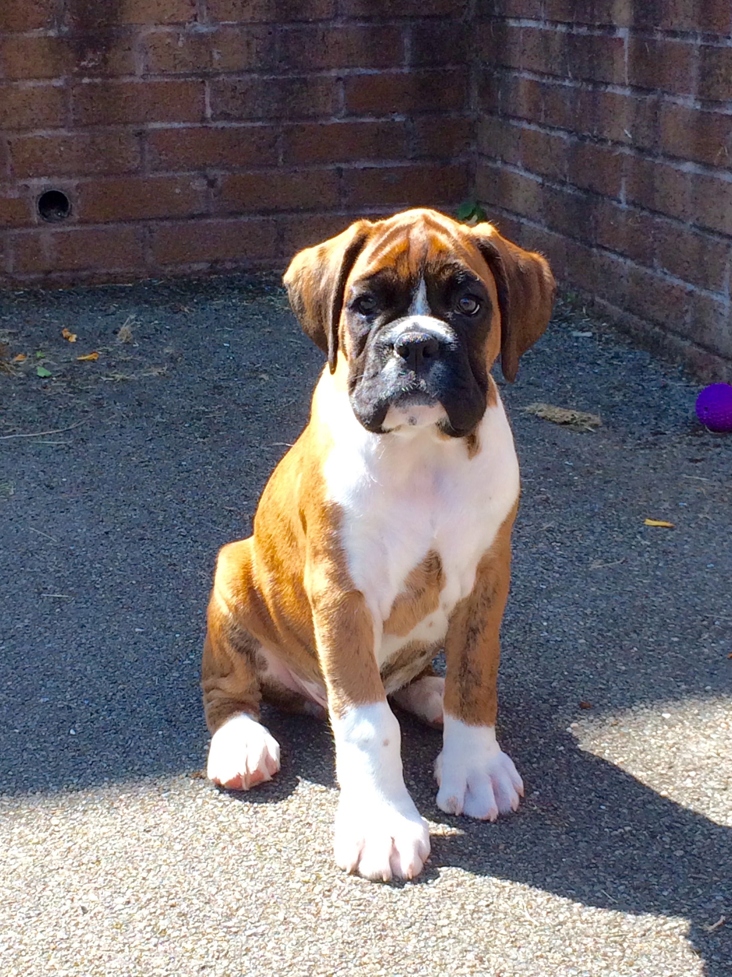 Pin By Nuki Mo On Boxers Boxer Puppies Boxer Dogs Funny Boxer Dogs