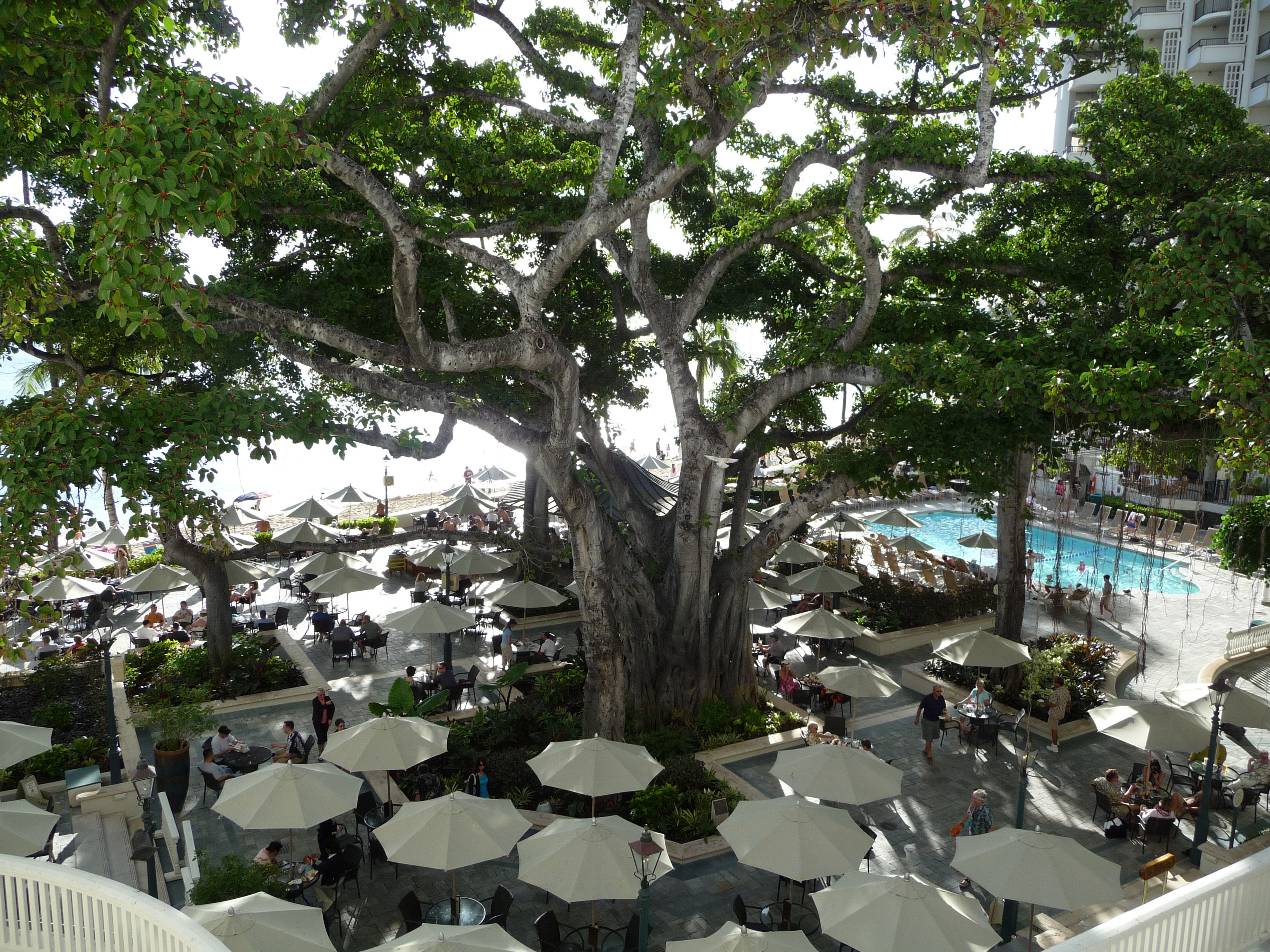 The Centerpiece Of Beach Bar At Westin Moana Surfrider Is This Majestic Banyon Tree And Royal Hawaiian Both On Waikiki